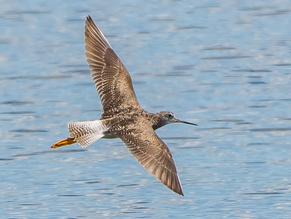 Greater Yellowlegs - Frank King