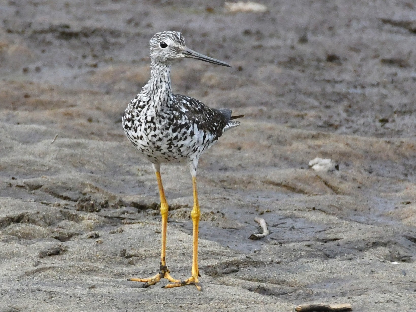 Greater Yellowlegs - Dorrie Holmes