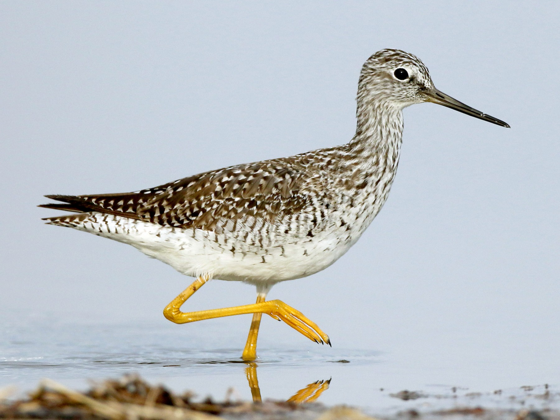Greater Yellowlegs - Jay McGowan