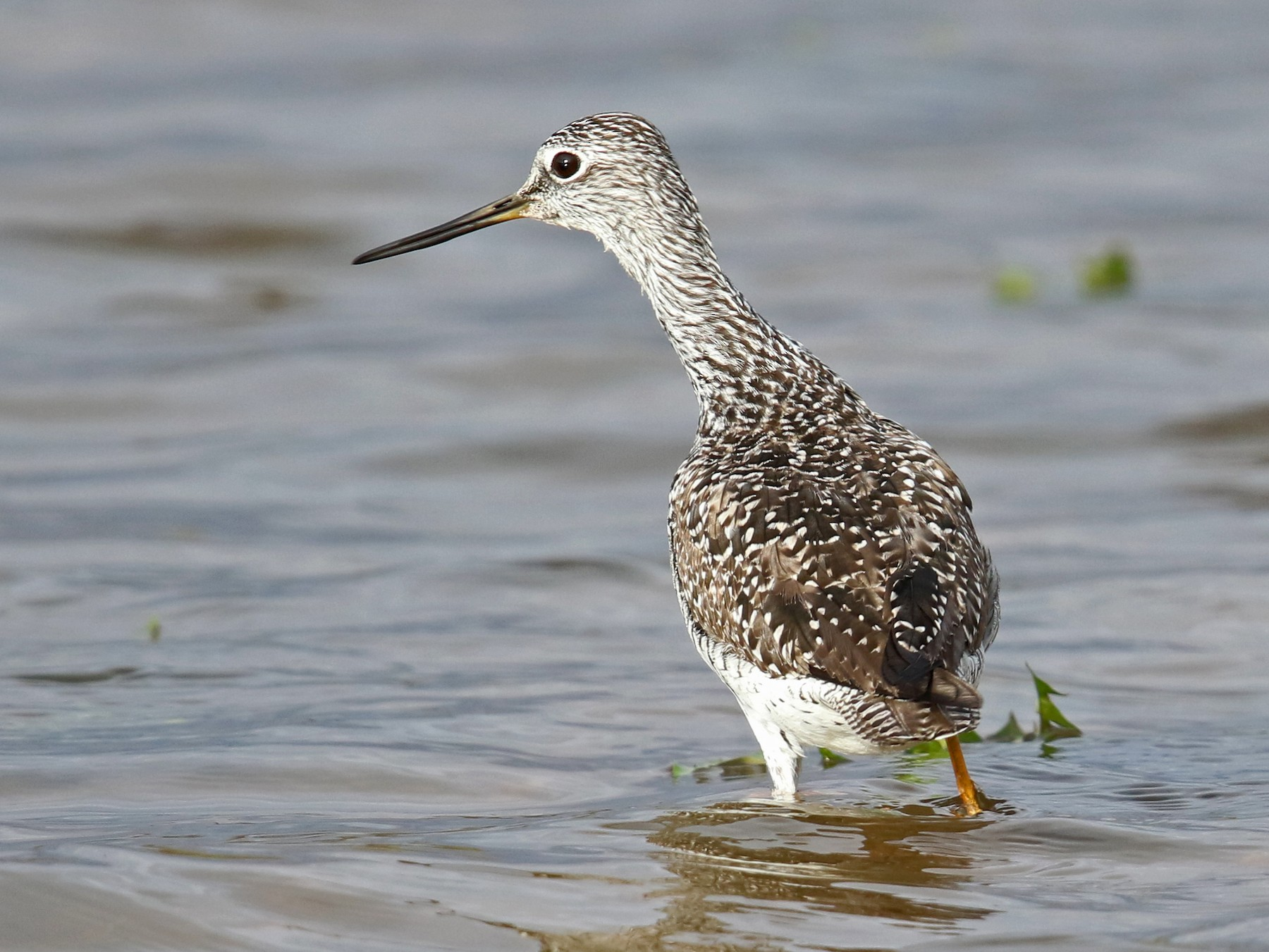 Greater Yellowlegs - Daniel Jauvin