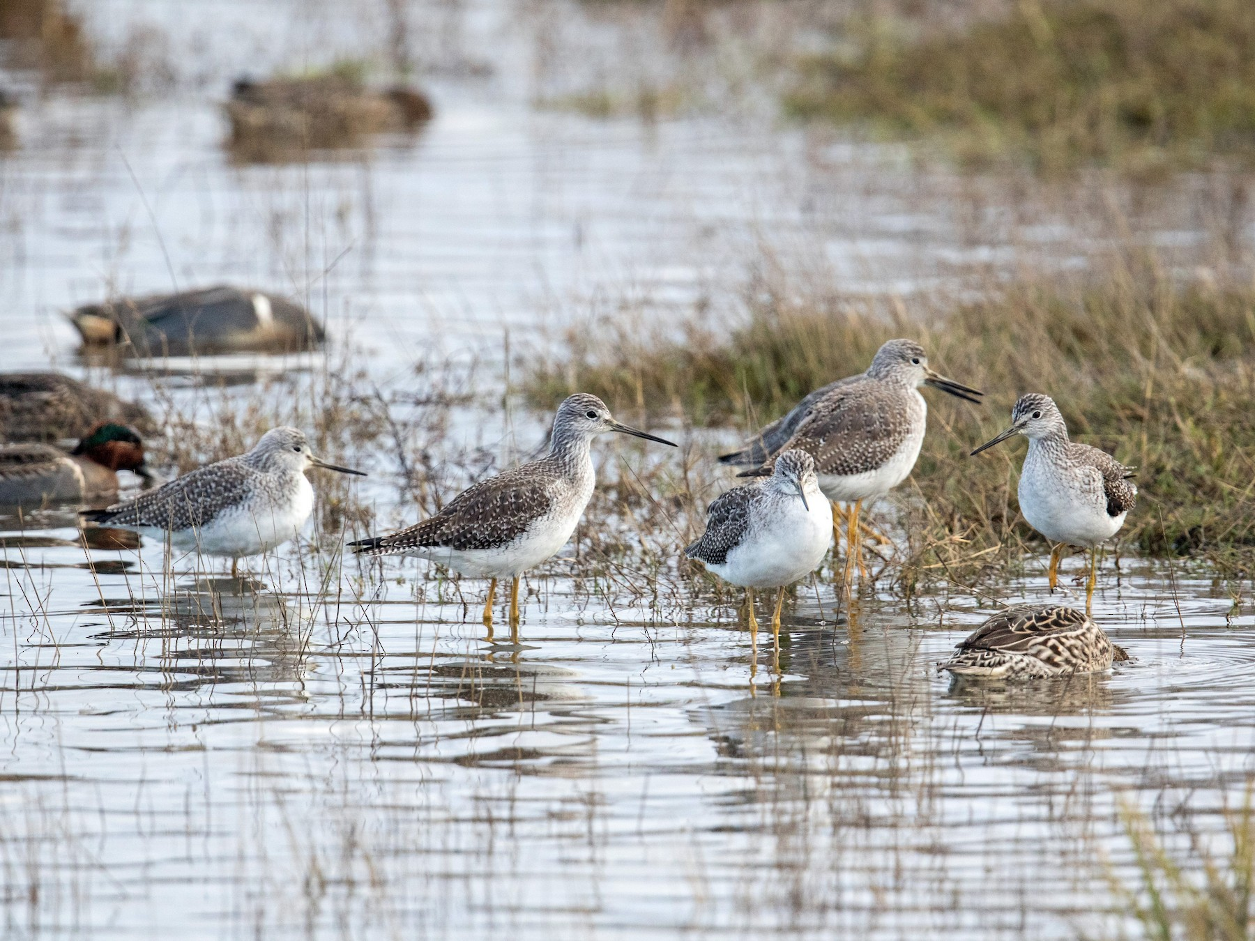 Greater Yellowlegs - Tony Varela
