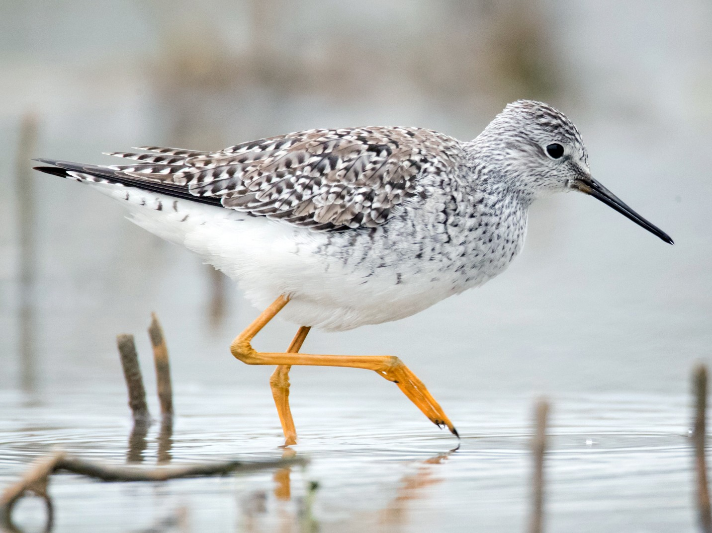 Lesser Yellowlegs - Brendan Klick