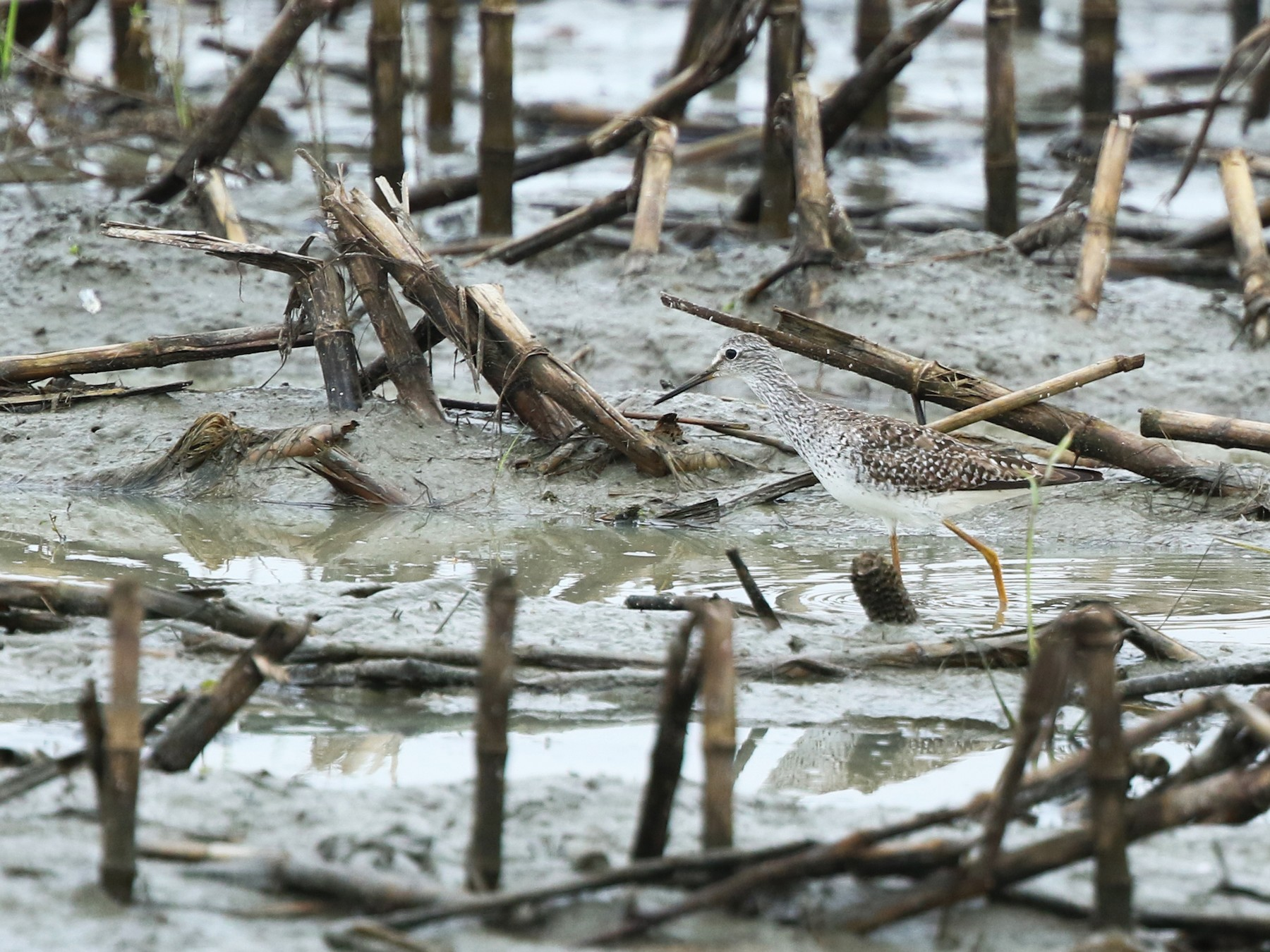 Lesser Yellowlegs - Daniel Jauvin