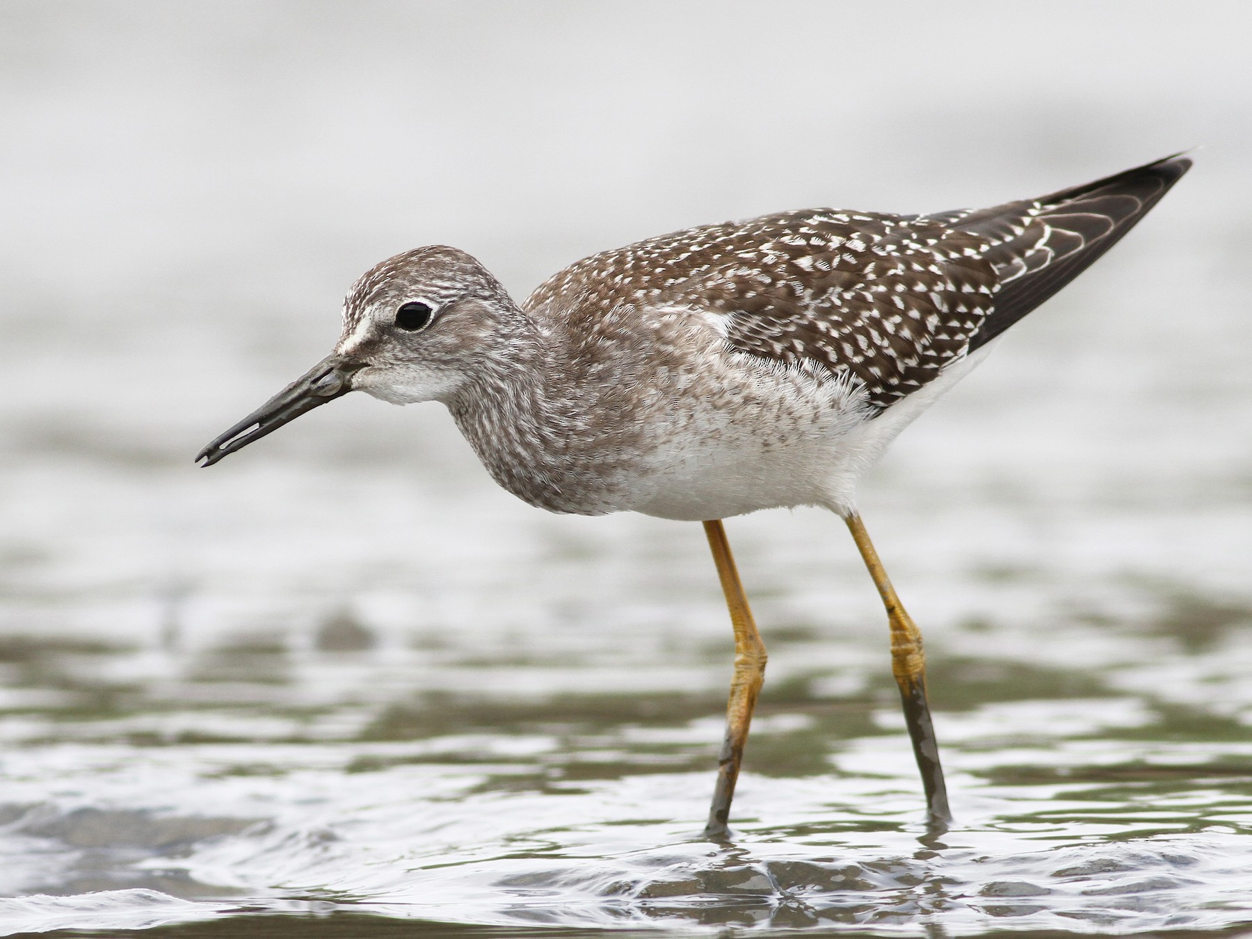 Lesser Yellowlegs - Evan Lipton