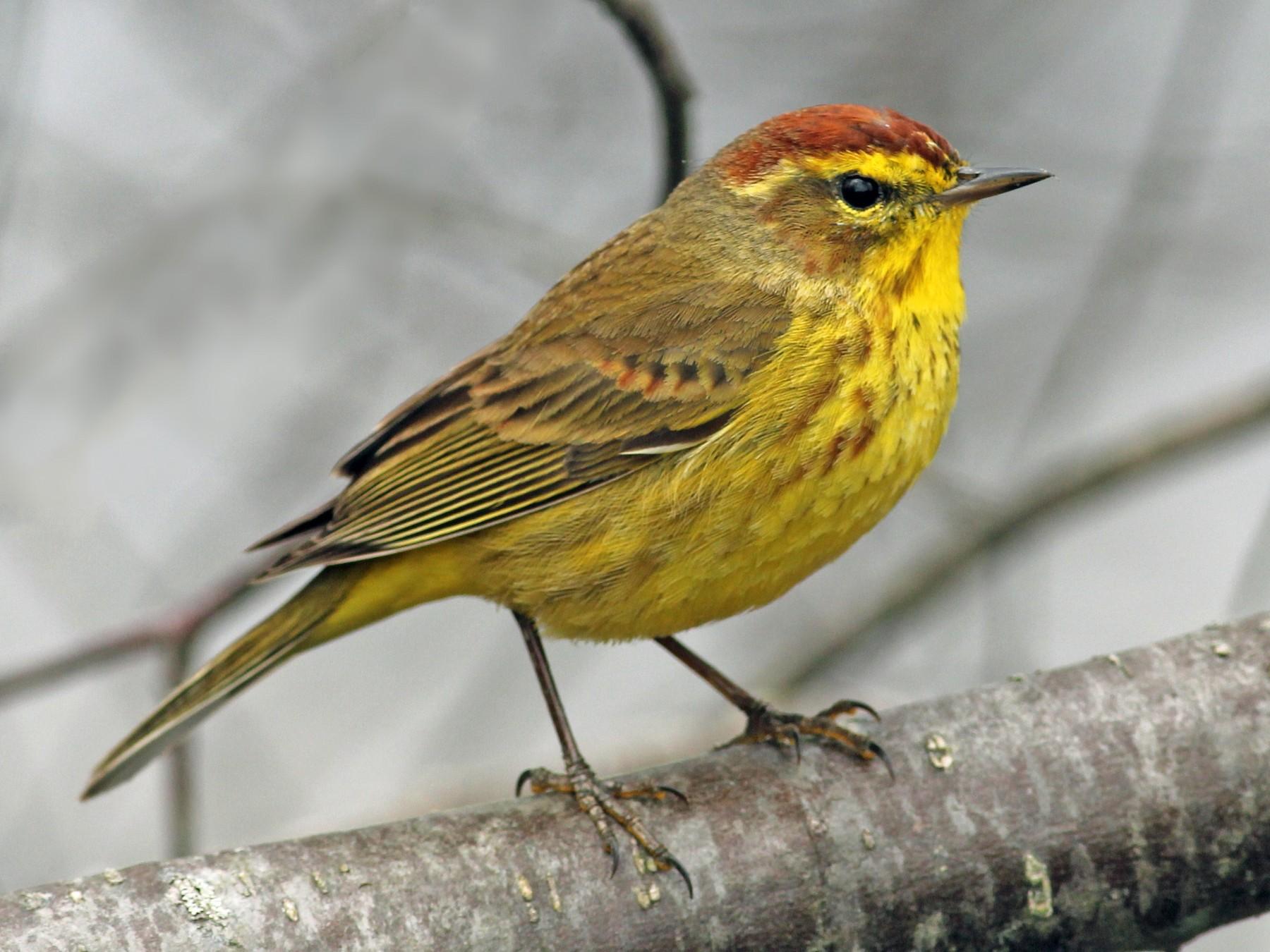 Palm Warbler - Margaret Viens
