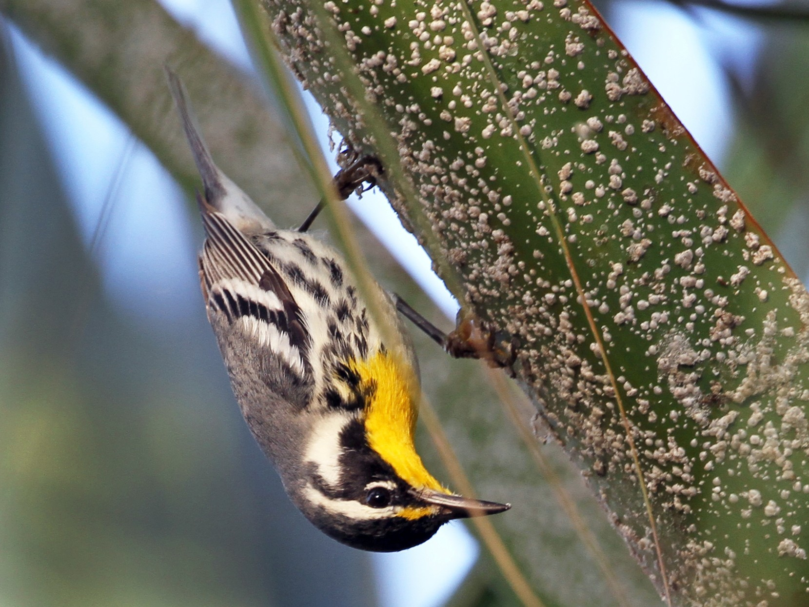 Yellow-throated Warbler - Meg Rousher