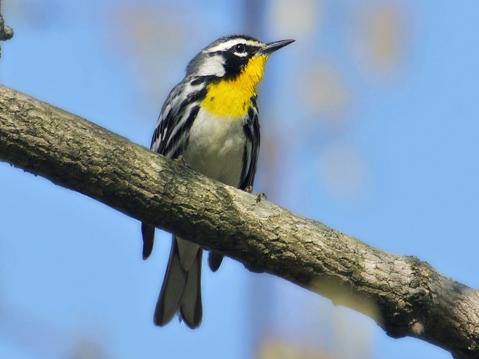 Yellow-throated Warbler - Brian Lowry