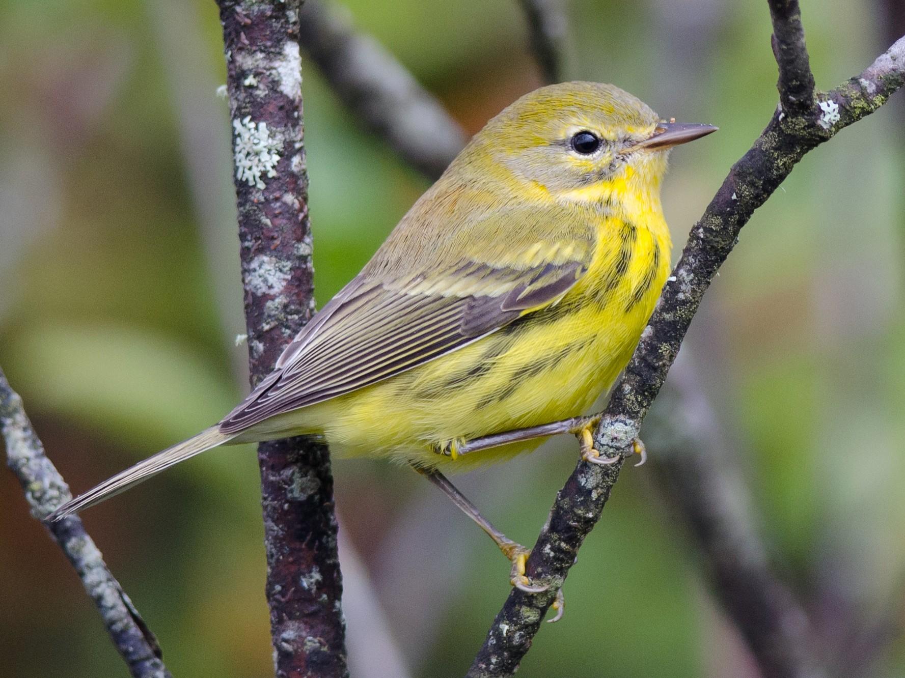 Prairie Warbler - Alix d'Entremont