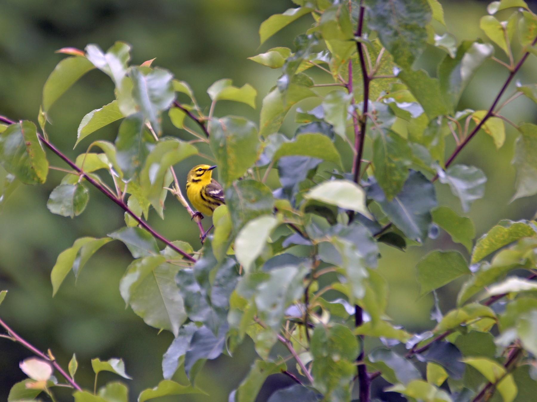 Prairie Warbler - Maxwell Ramey
