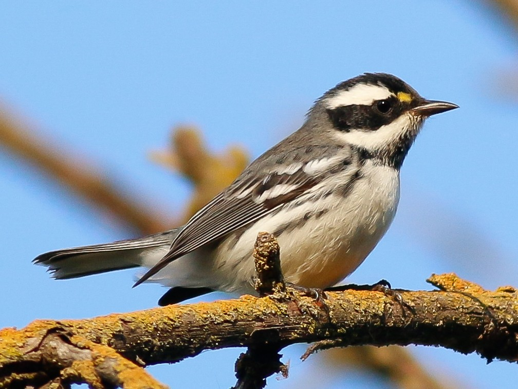 Black-throated Gray Warbler - Kirk Swenson