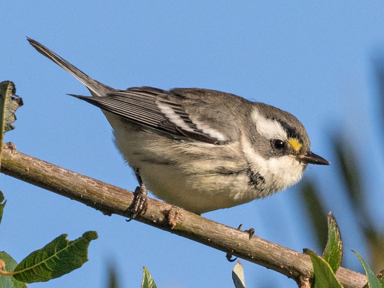 Black-throated Gray Warbler - Kathleen Kent