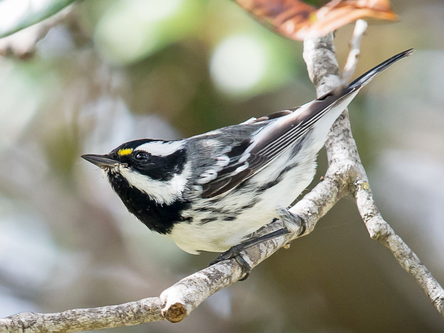 Black-throated Gray Warbler - Melissa James