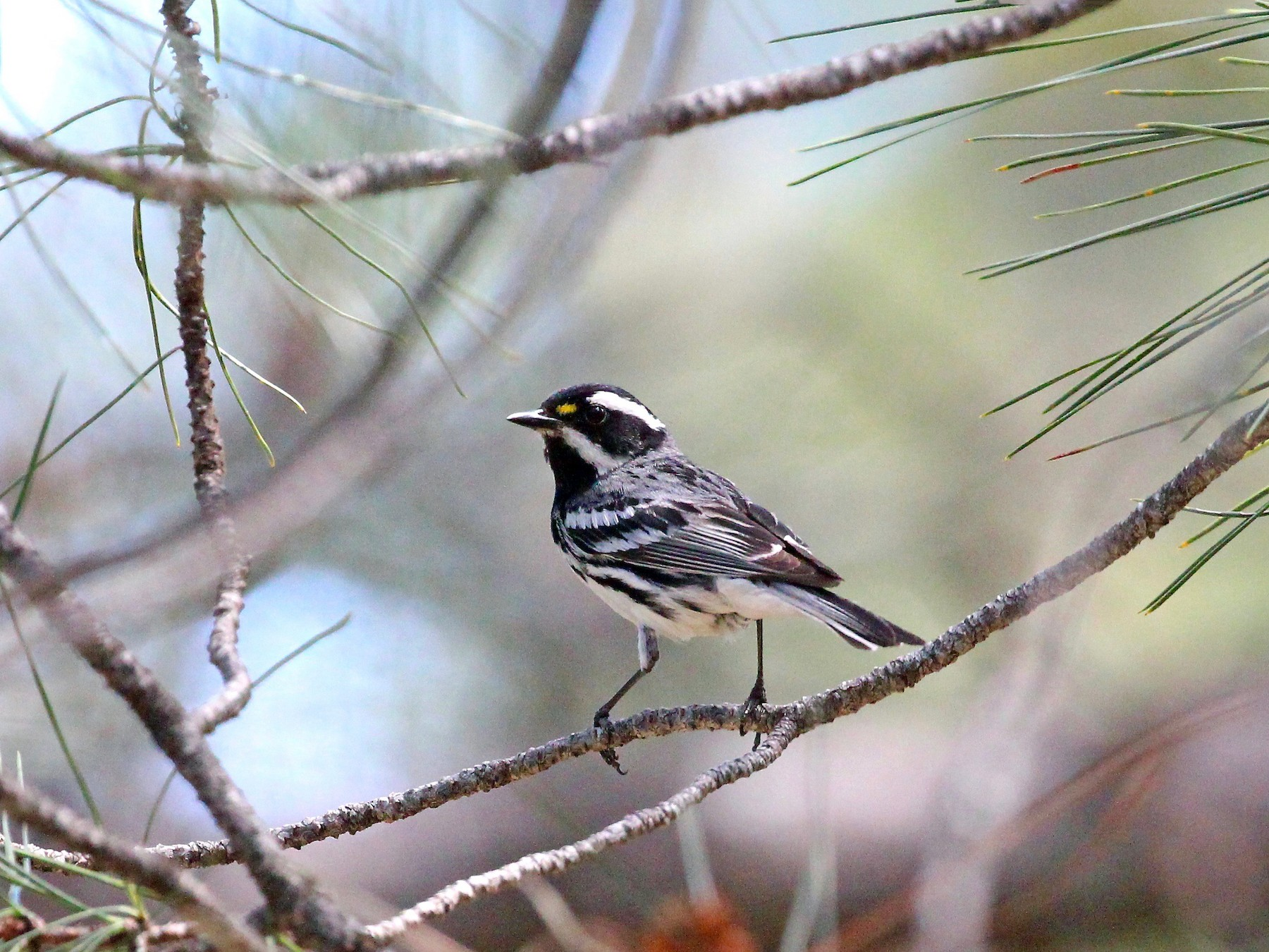 Black-throated Gray Warbler - Mark Stephenson