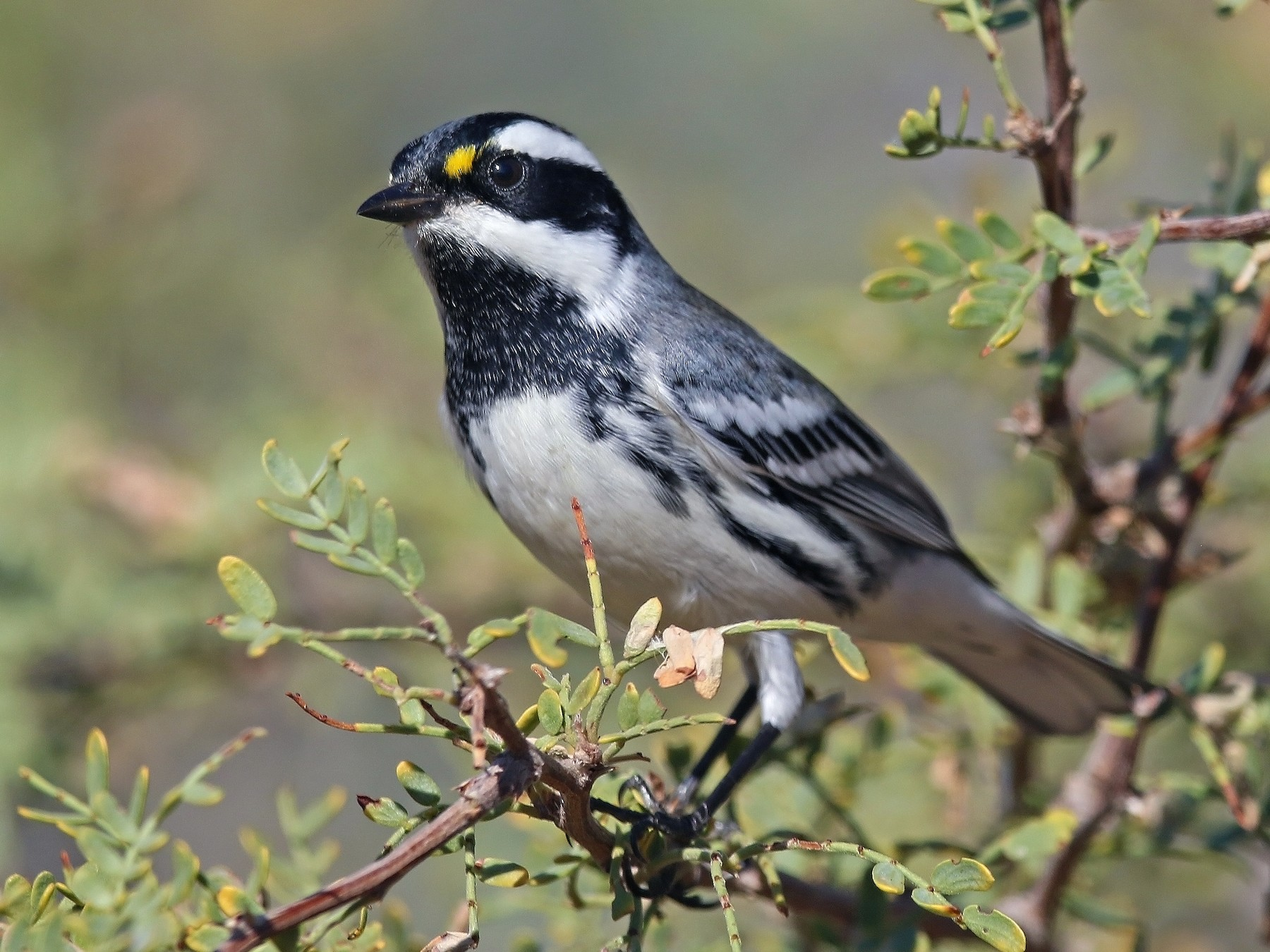 Black-throated Gray Warbler - Matt Davis