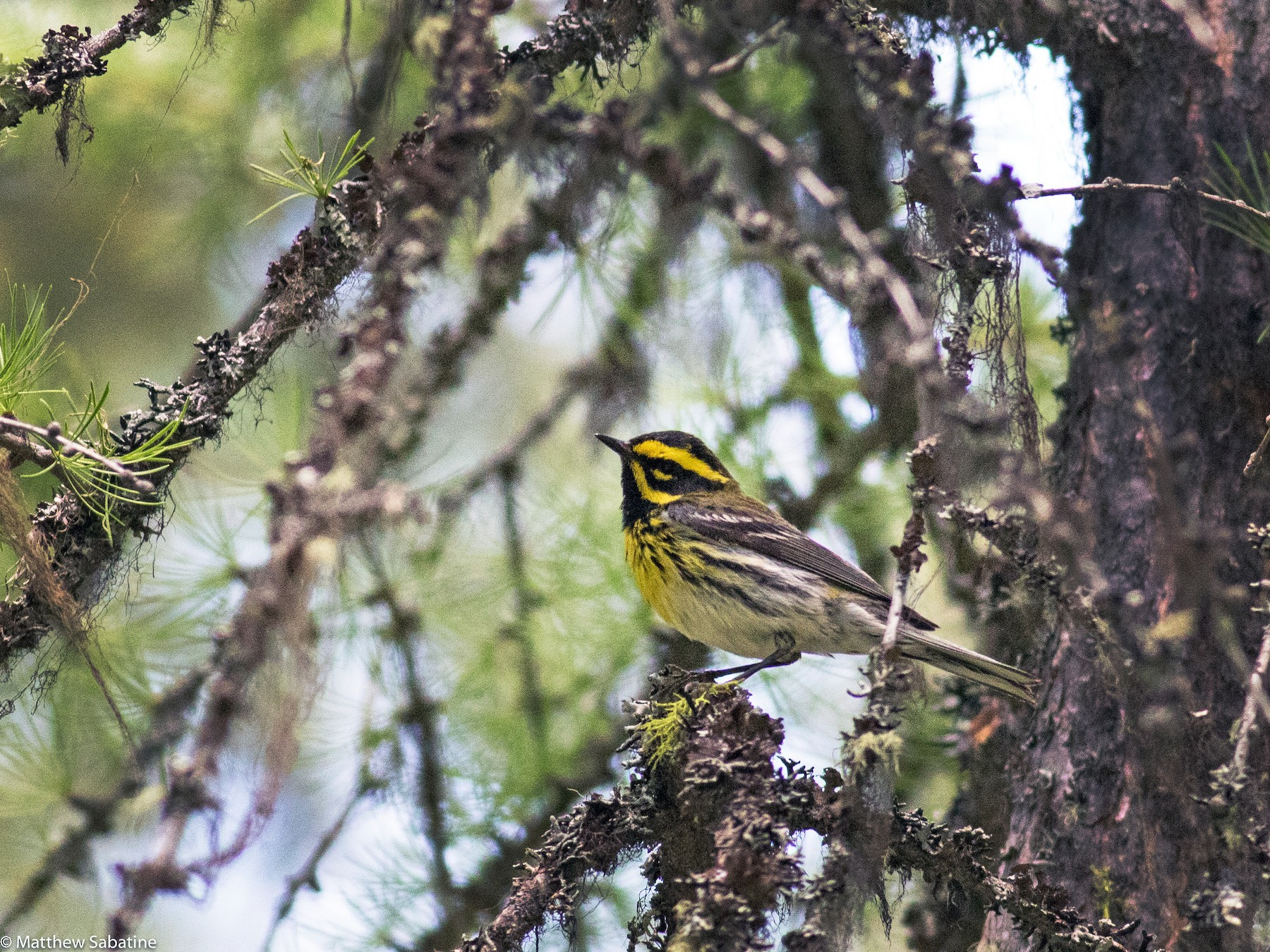 Townsend's Warbler - matthew sabatine