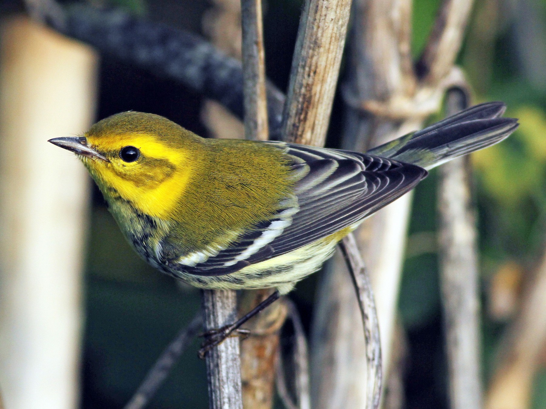 Black-throated Green Warbler - Evan Lipton