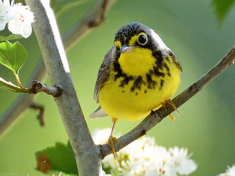 Canada Warbler - terence zahner