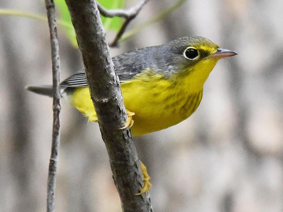 Canada Warbler - Bob Edelen