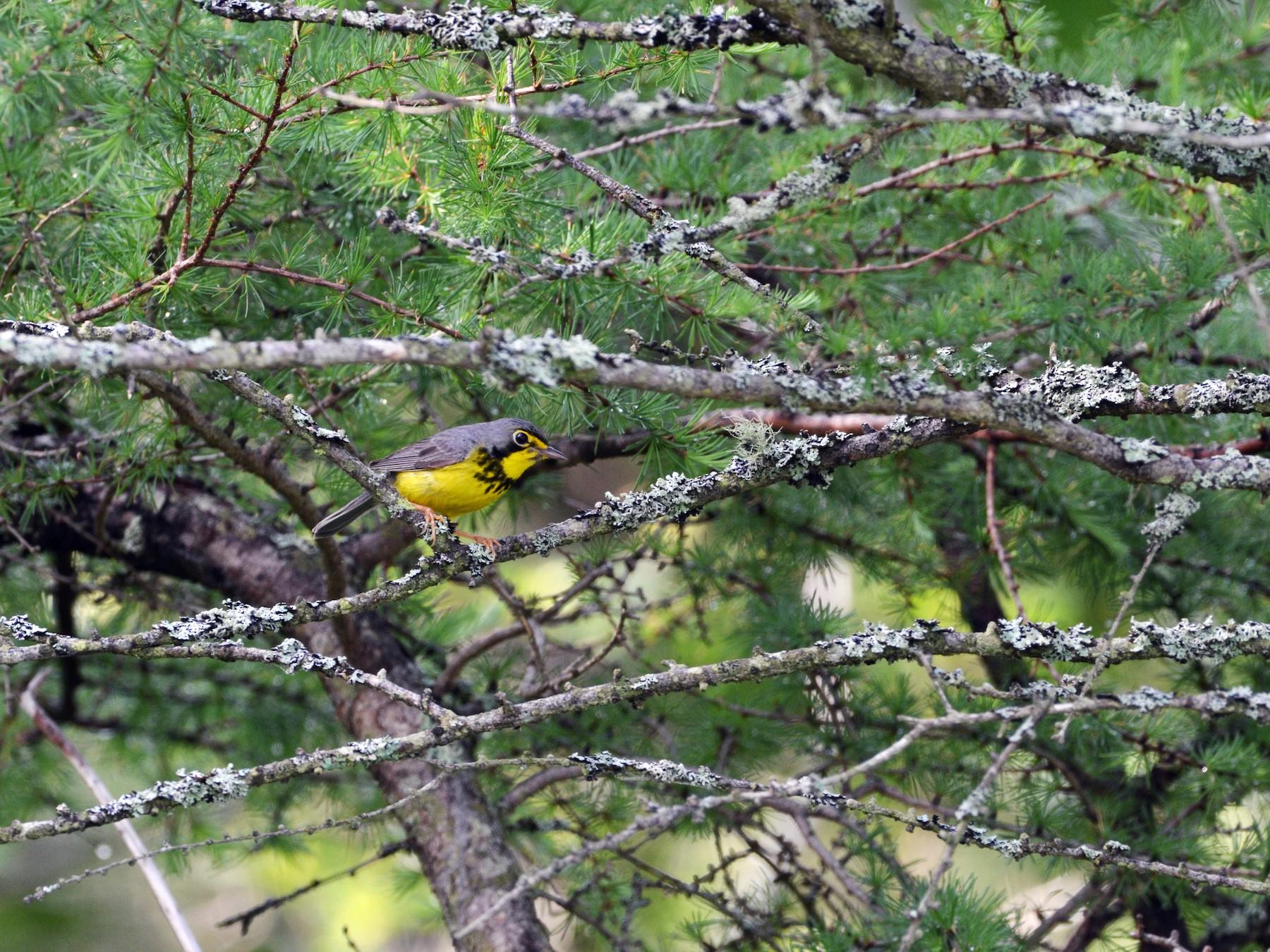 Canada Warbler - Andrew Stadnyk