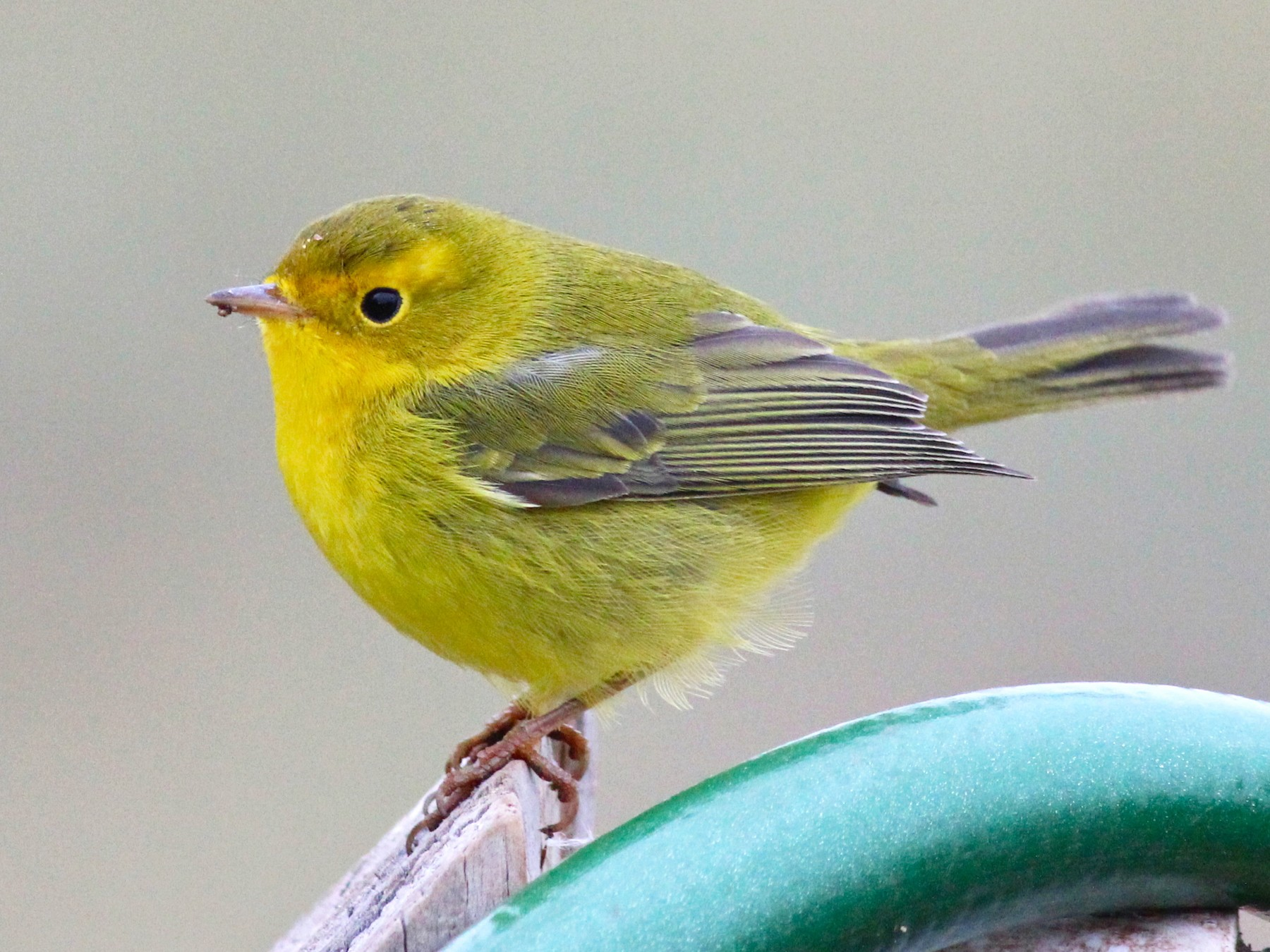 Wilson's Warbler - Shawn Billerman