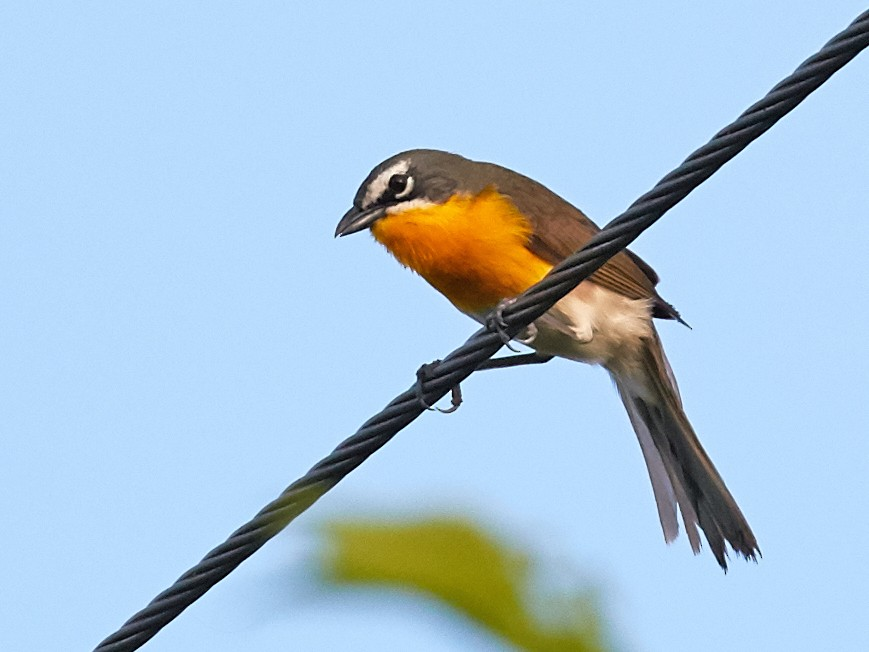 Yellow-breasted Chat - Brooke Miller