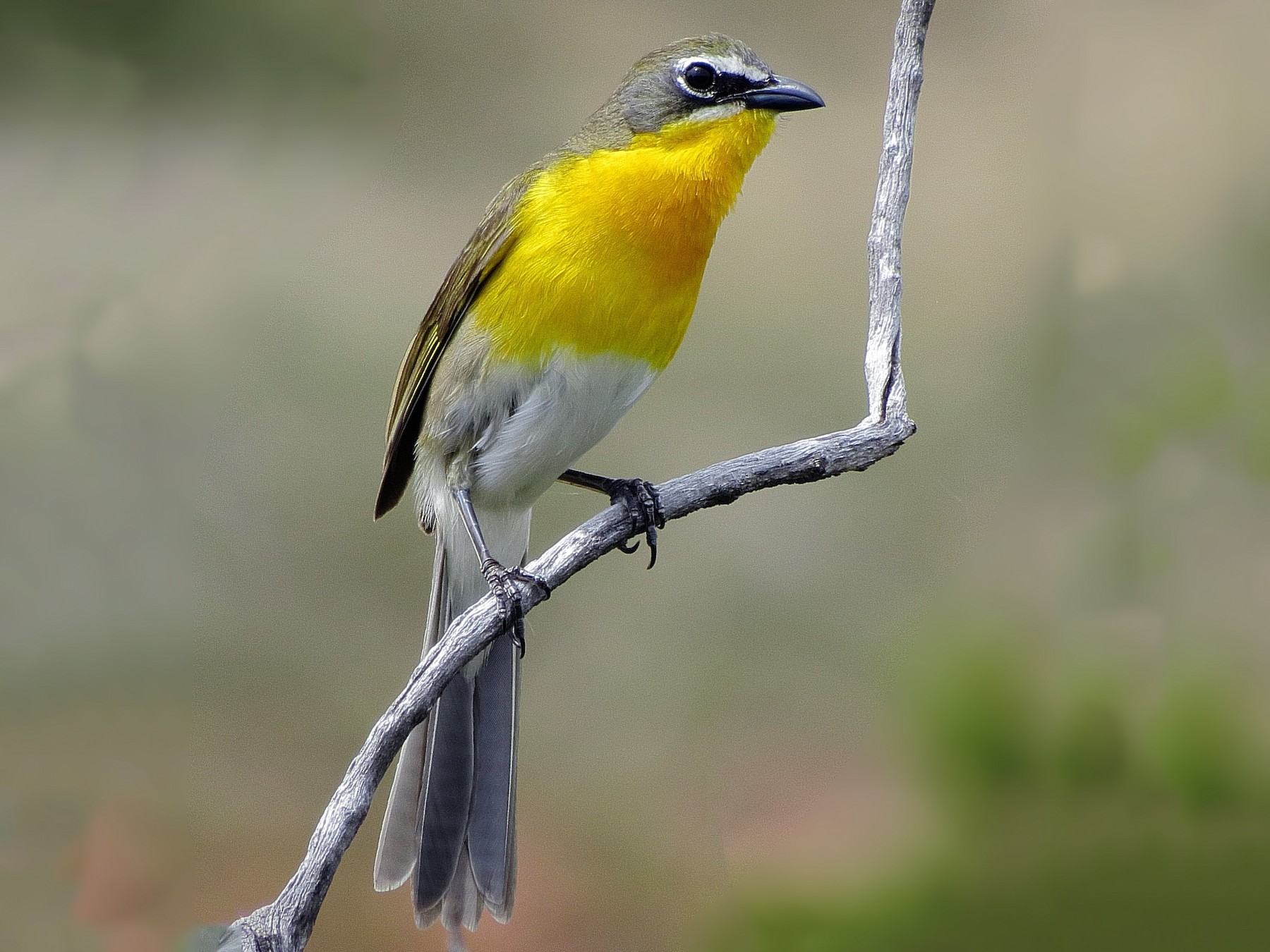 Yellow-breasted Chat - Kent Jensen