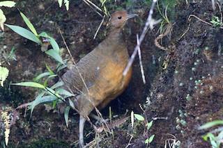 Tawny-breasted Tinamou, ML64933811