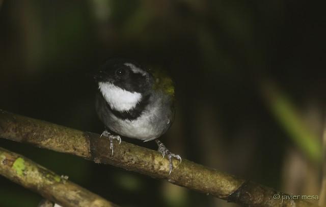 Paria Brushfinch