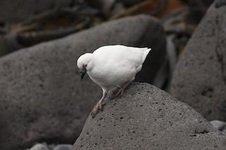 - Black-faced Sheathbill