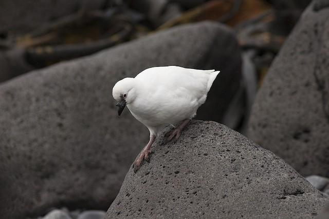 Black-faced Sheathbill