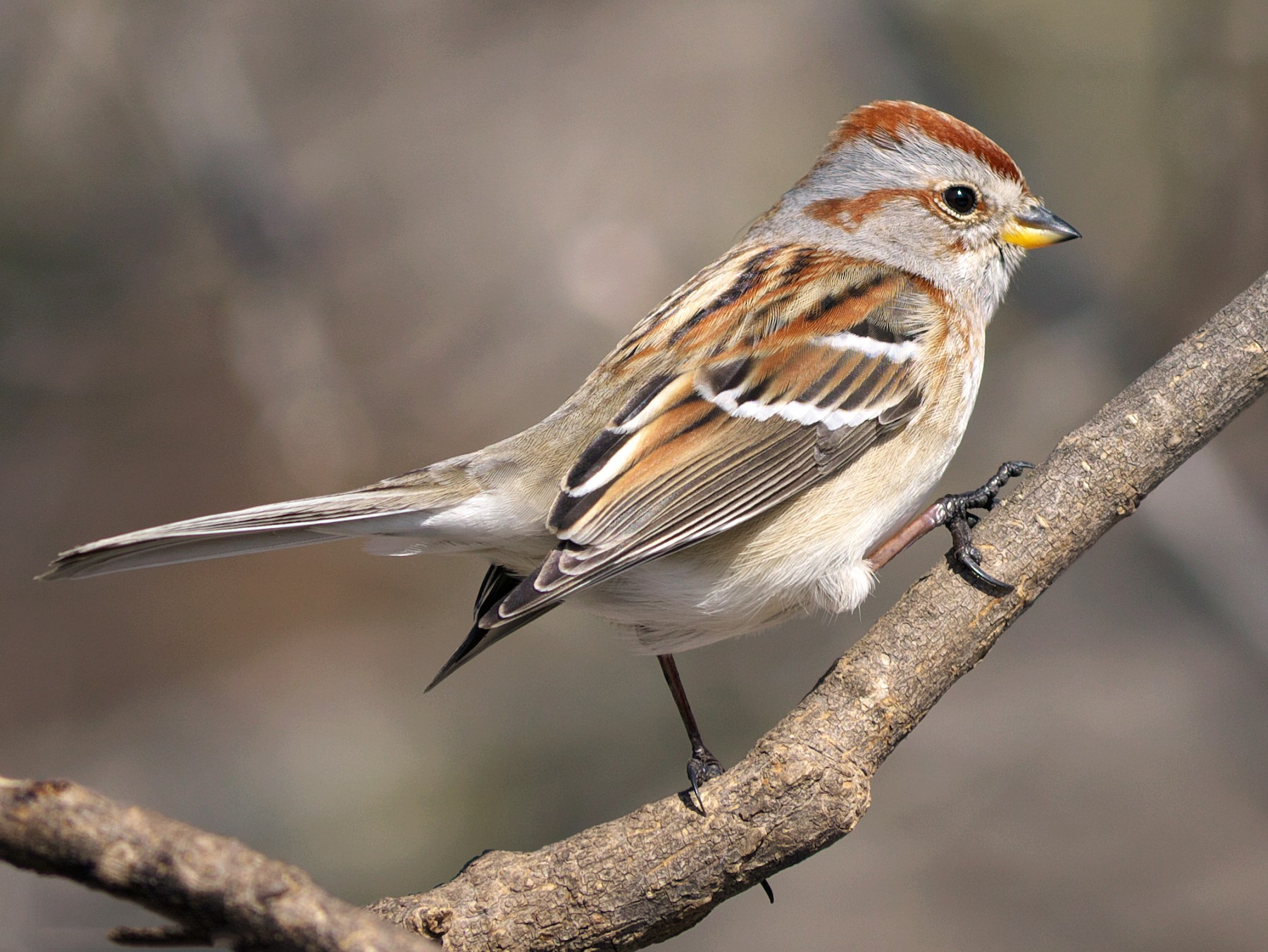 American Tree Sparrow - Paul Tavares