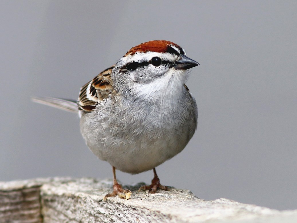 Chipping Sparrow - Yves Gauthier (Mtl)