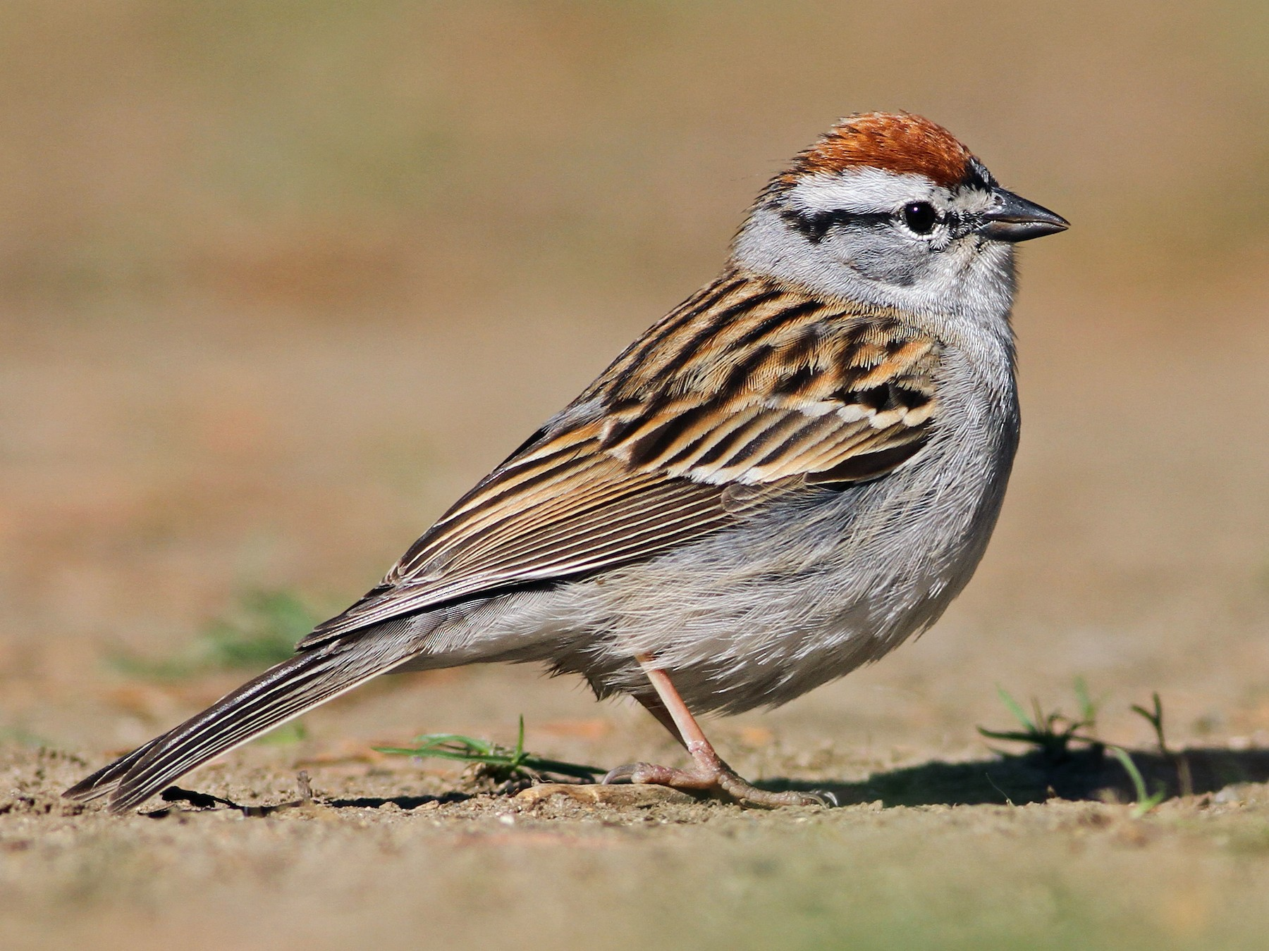 Chipping Sparrow - Evan Lipton
