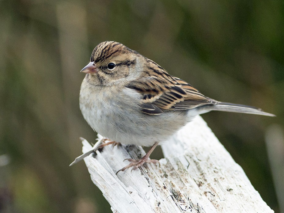 Chipping Sparrow - Lucas Berrigan