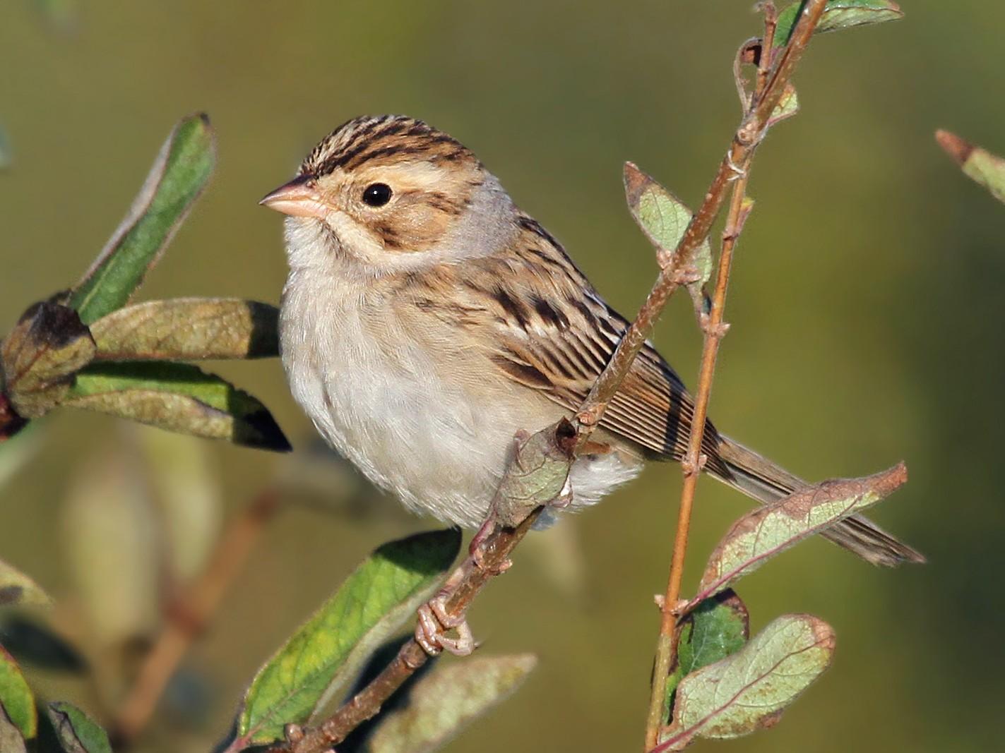 Clay-colored Sparrow - Ryan Schain