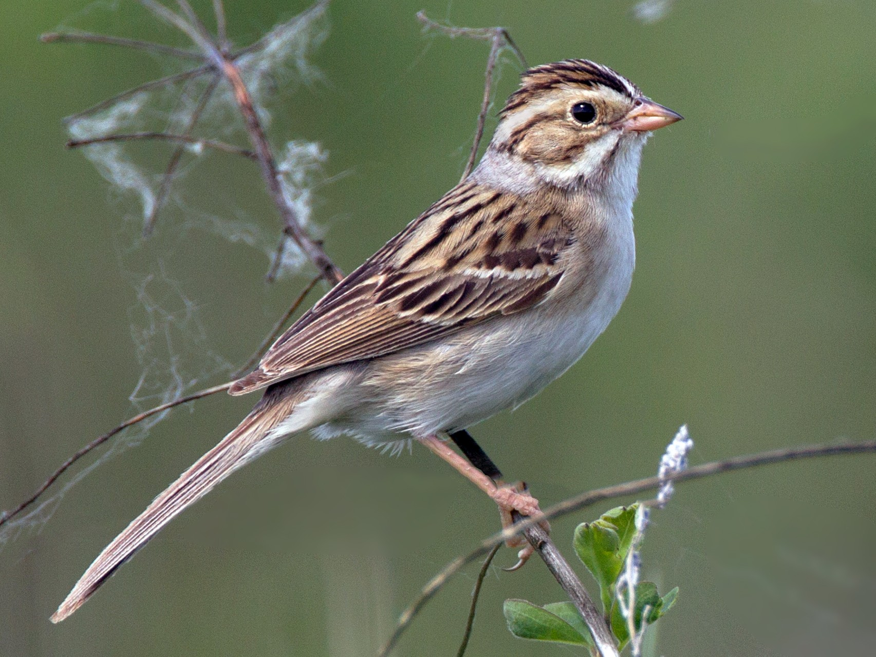 Clay-colored Sparrow - Chris Wood