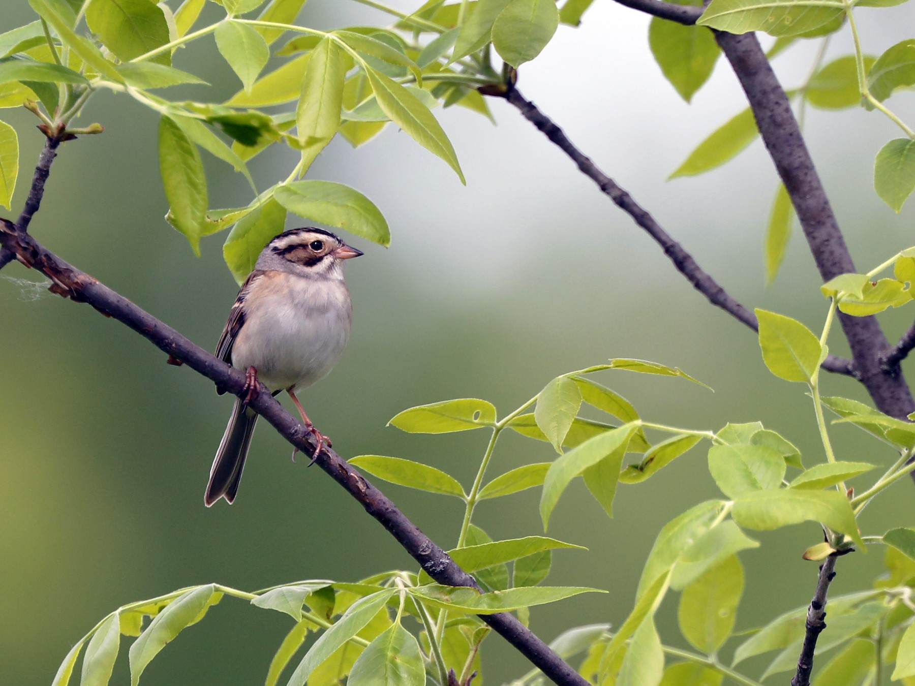 Clay-colored Sparrow - Daniel Jauvin