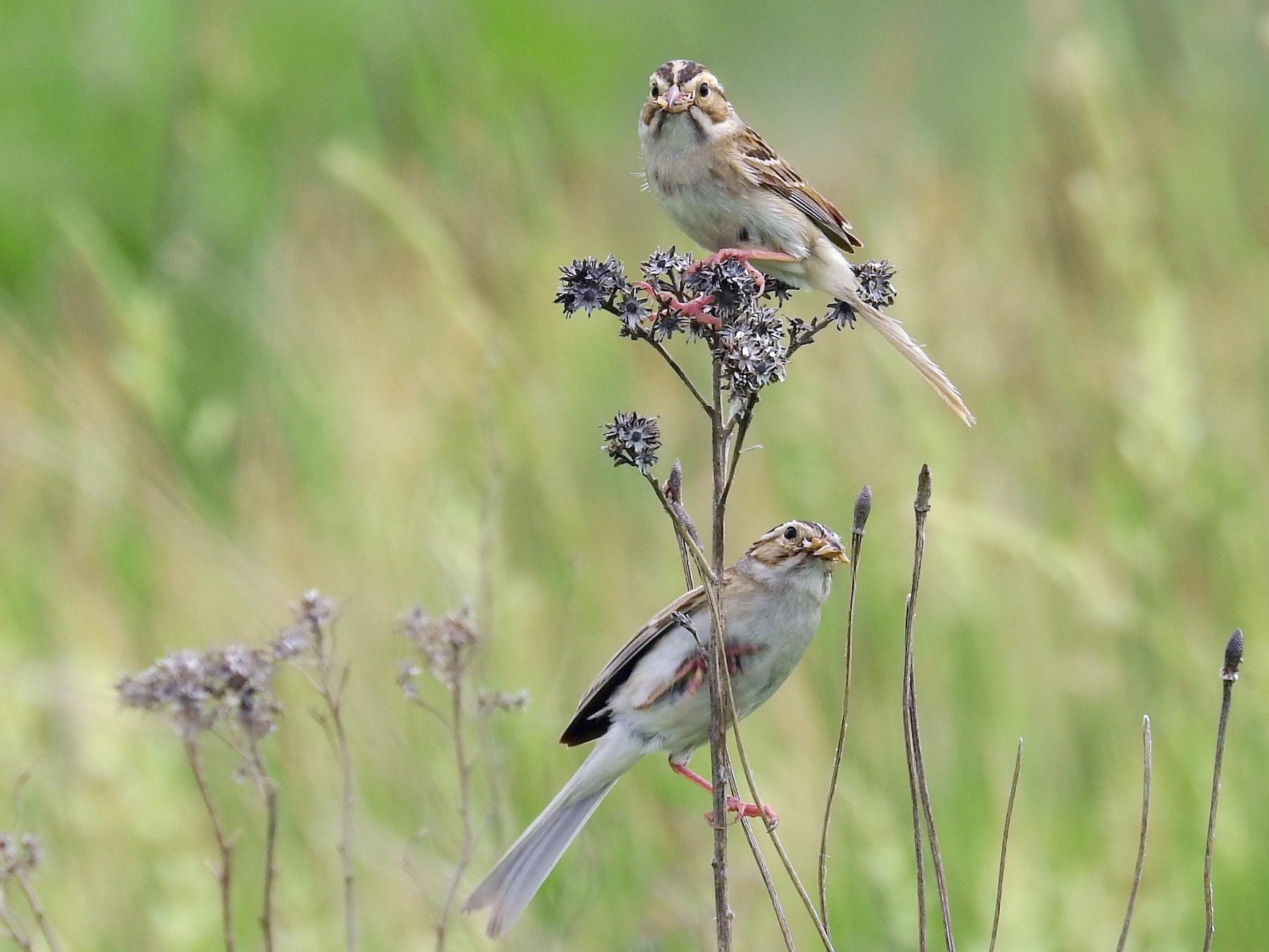 Clay-colored Sparrow - Bonnie Heinecke