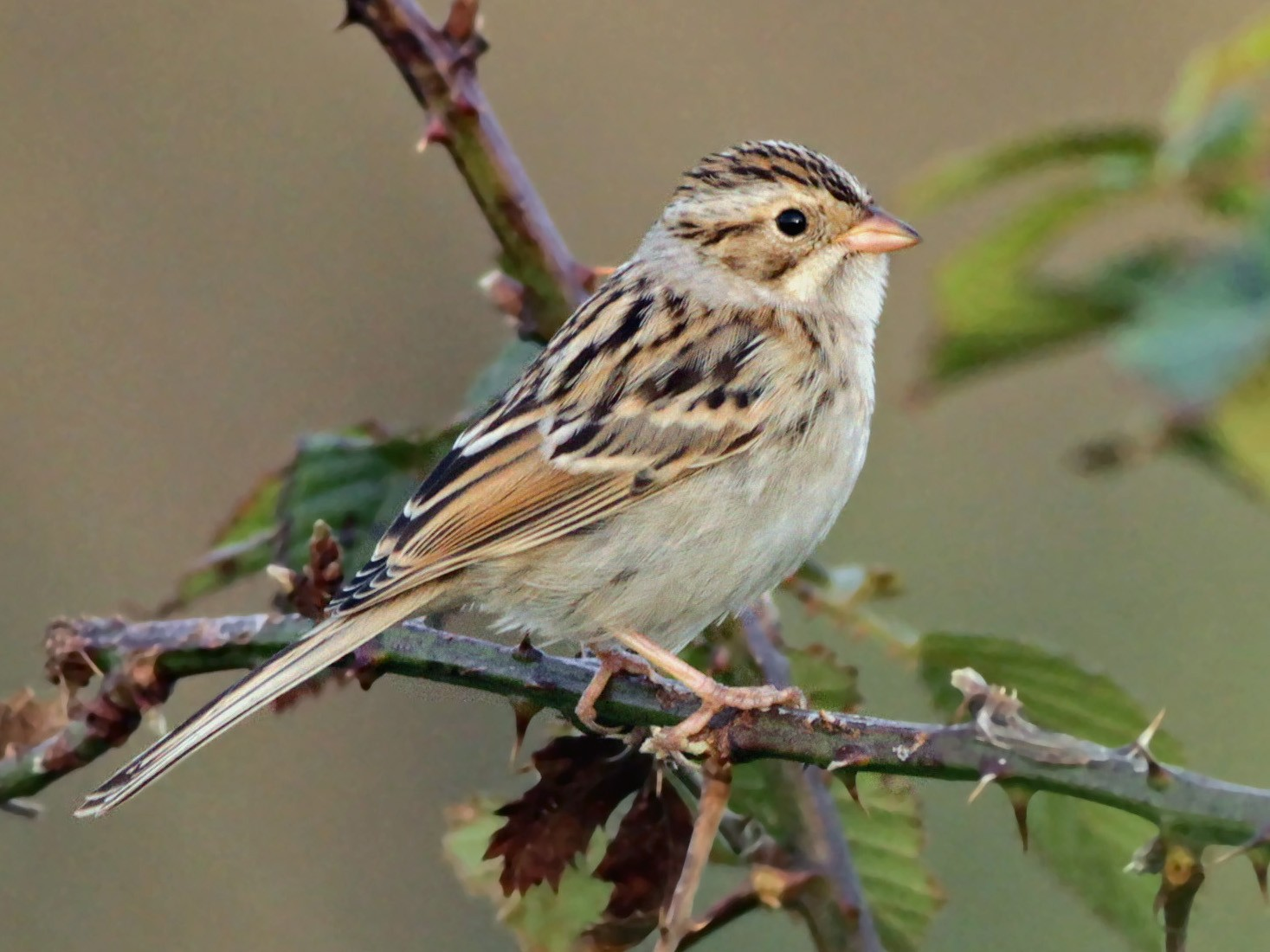 Clay-colored Sparrow - Ian Davies
