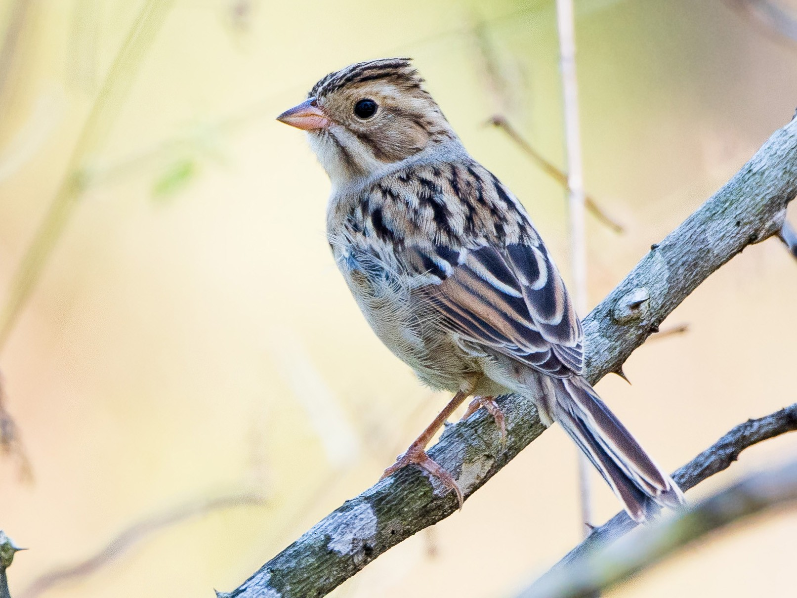 Clay-colored Sparrow - Melissa James