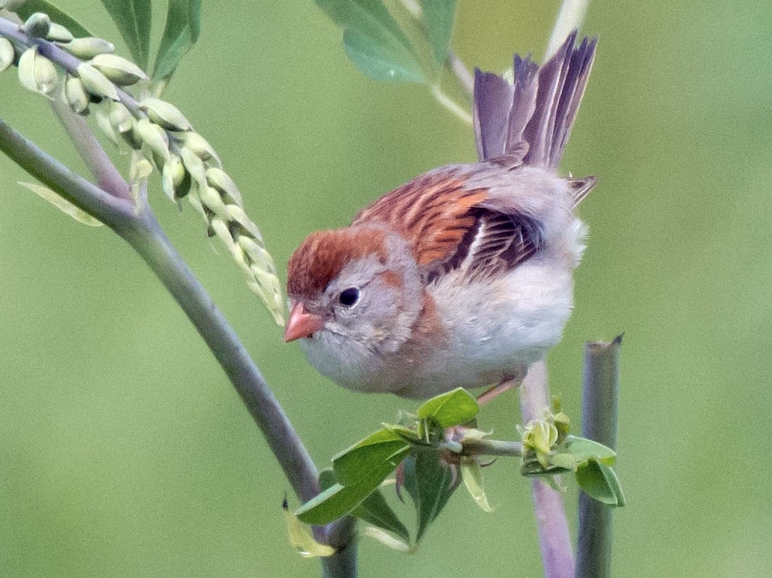 Field Sparrow - Gordon Karre
