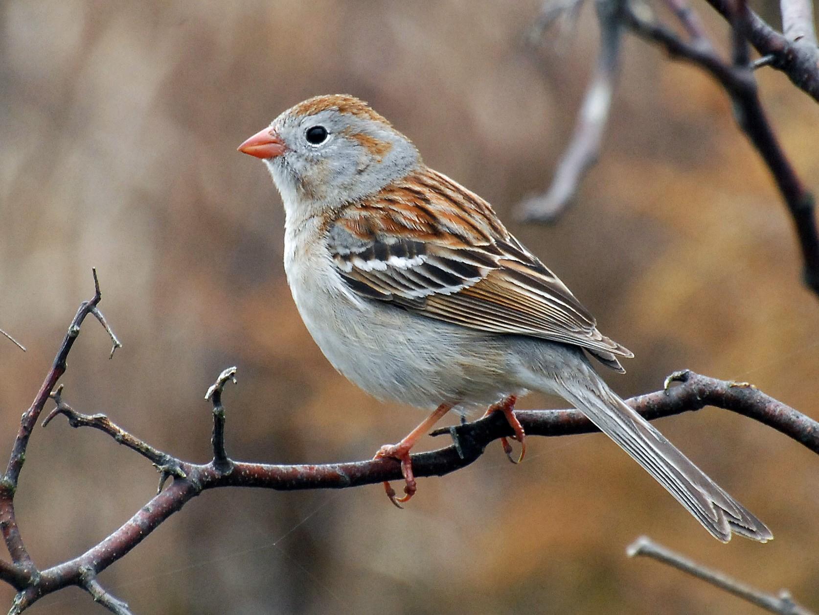 Field Sparrow - David M. Bell