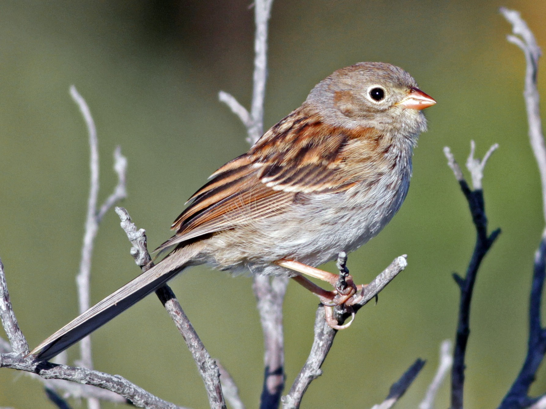 Field Sparrow - Ian Davies