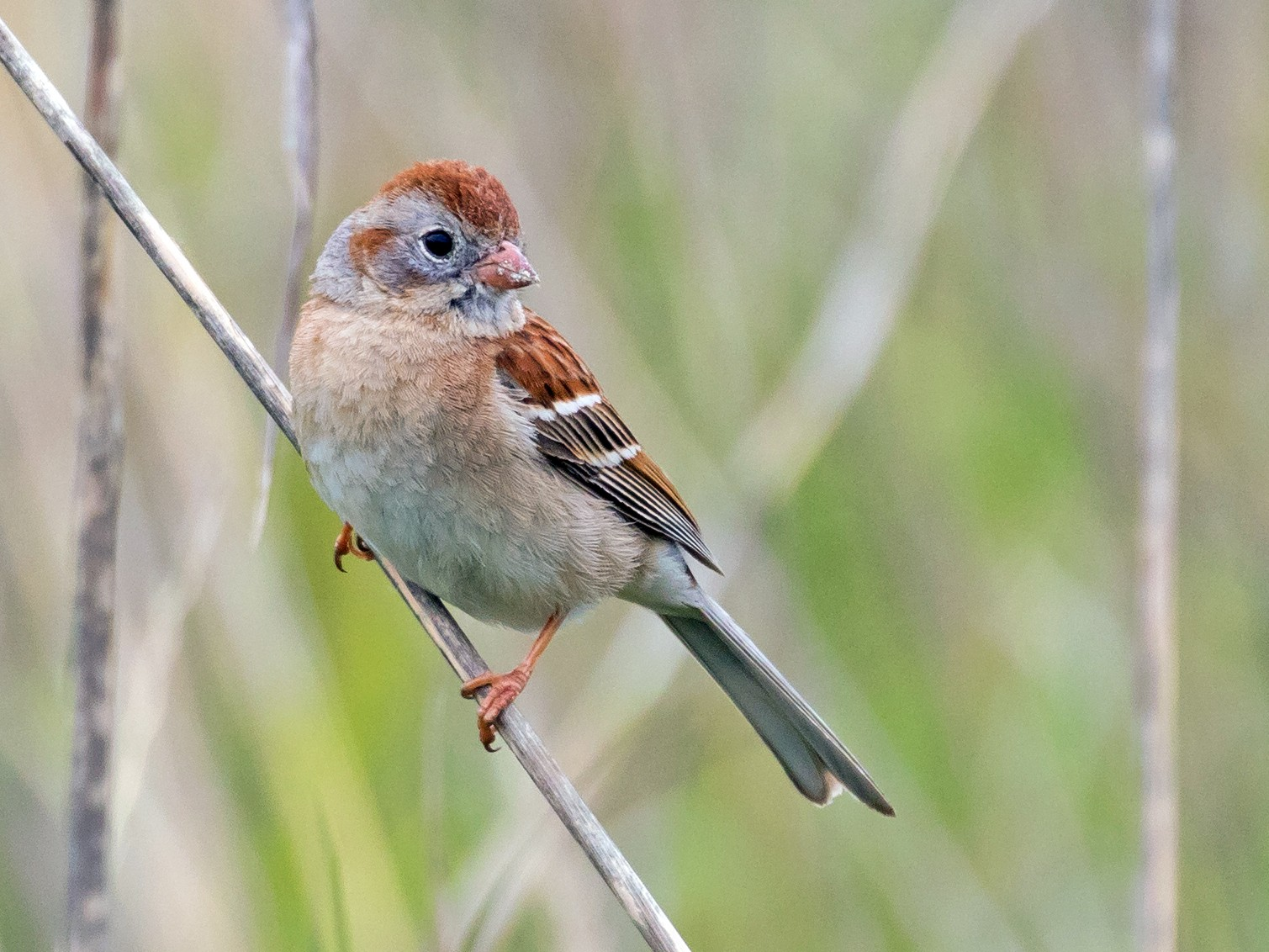 Field Sparrow - Chris Thomas