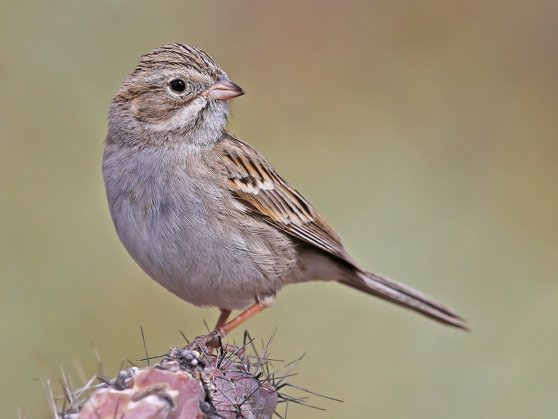 Brewer's Sparrow - Matt Davis
