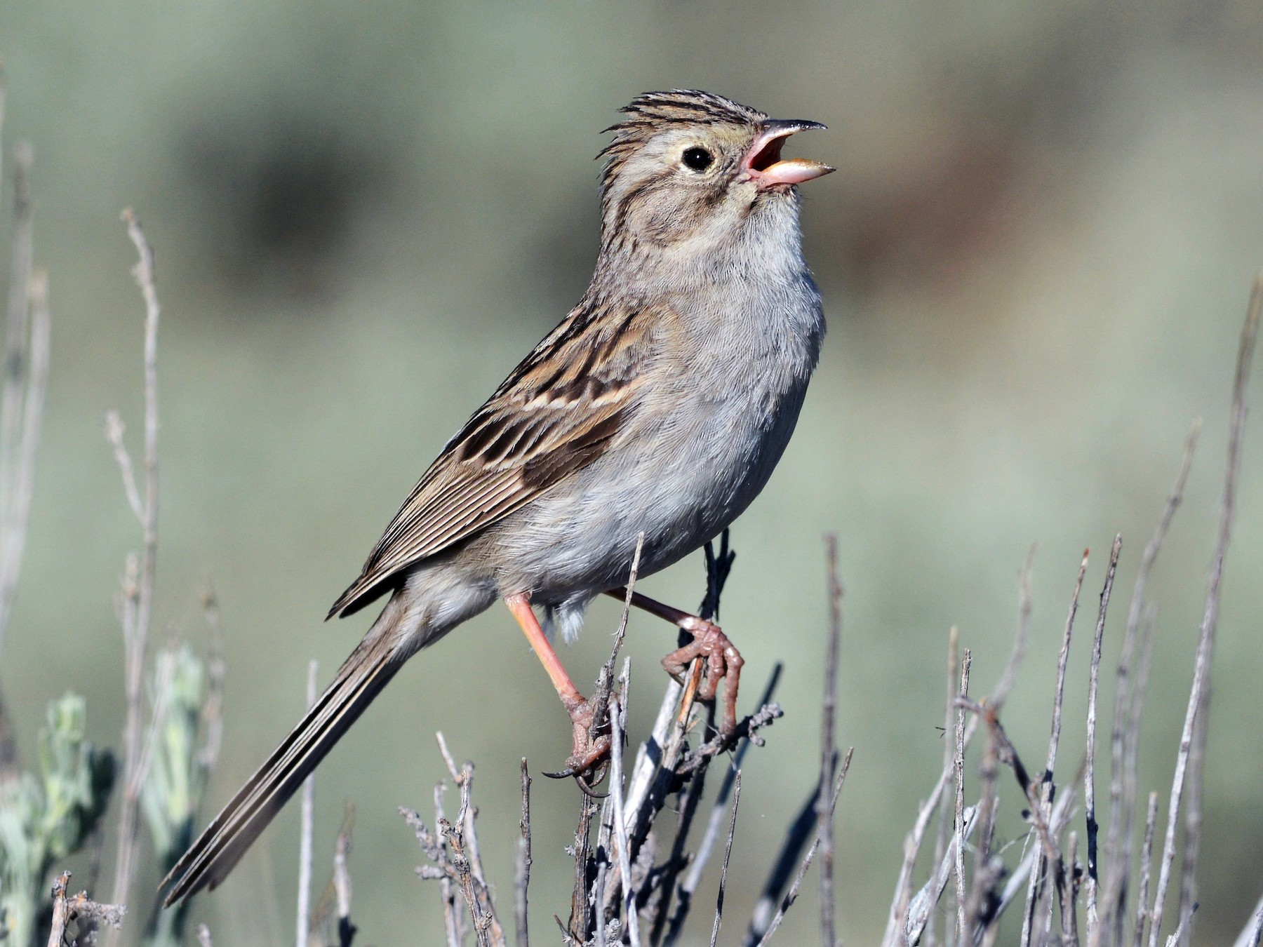Brewer's Sparrow - David Hollie