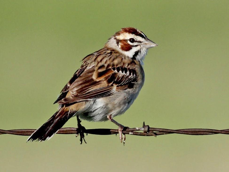 Lark Sparrow - Jay McGowan