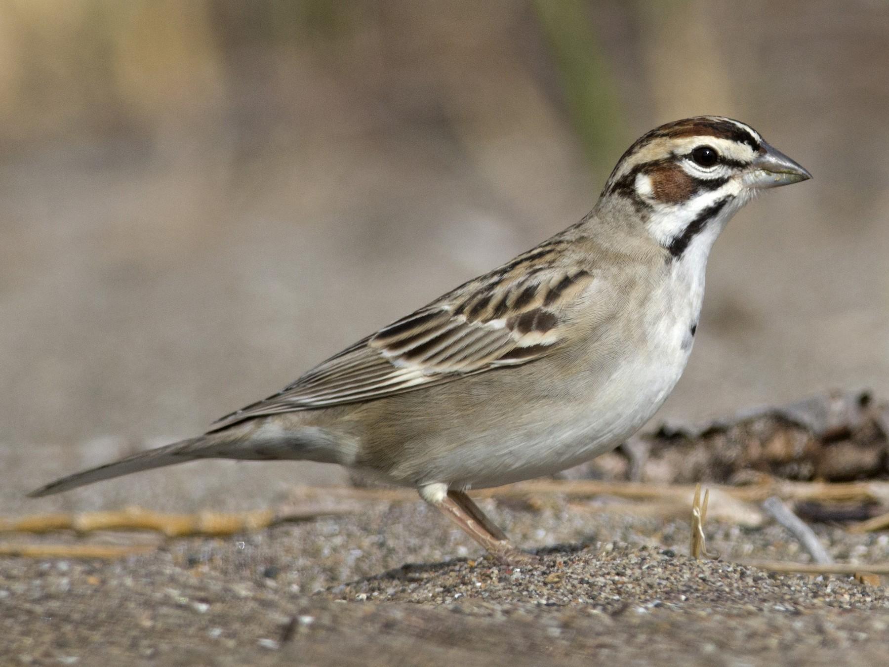 Lark Sparrow - Joshua Vandermeulen
