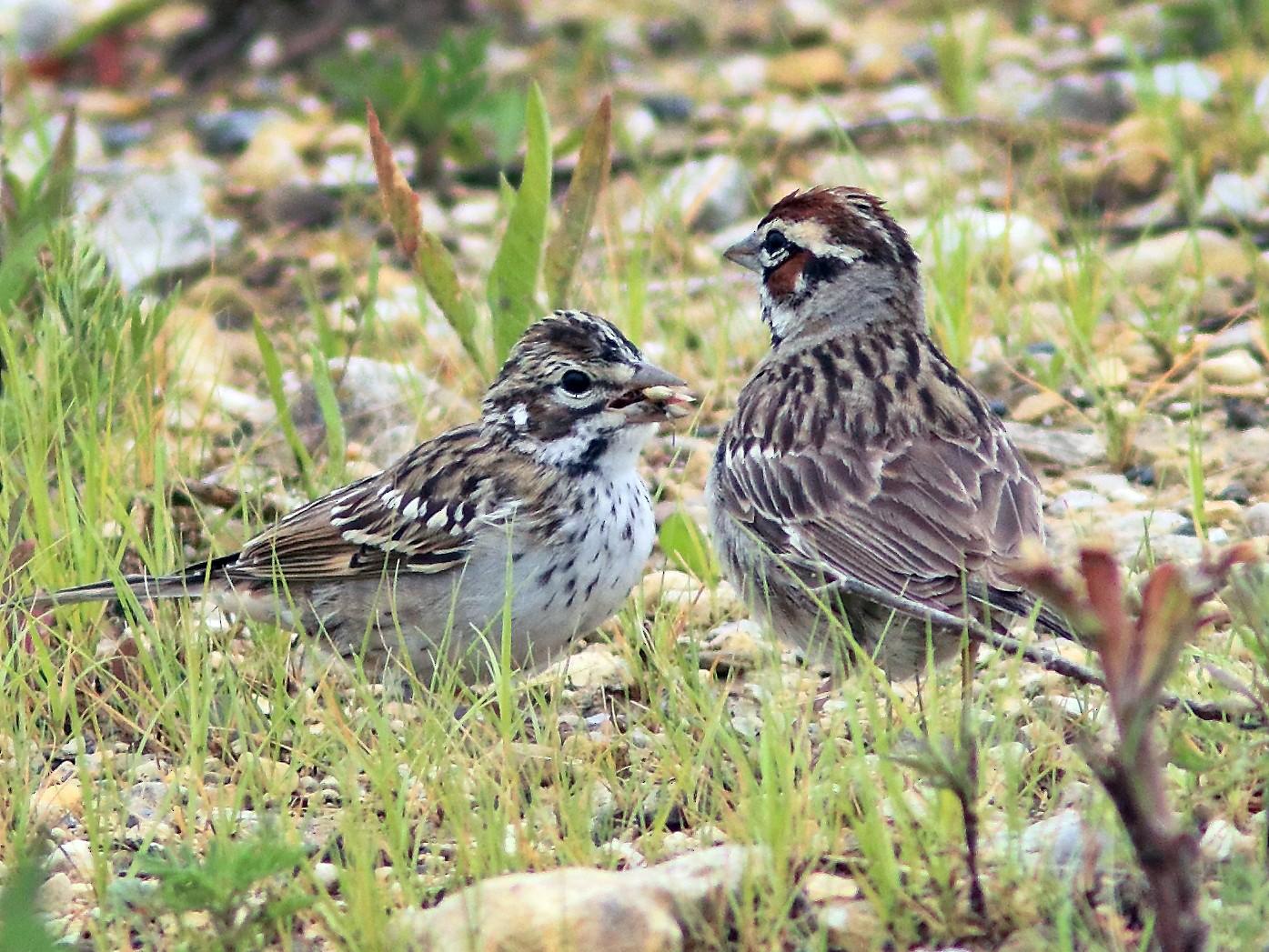 Lark Sparrow - Ken Schneider