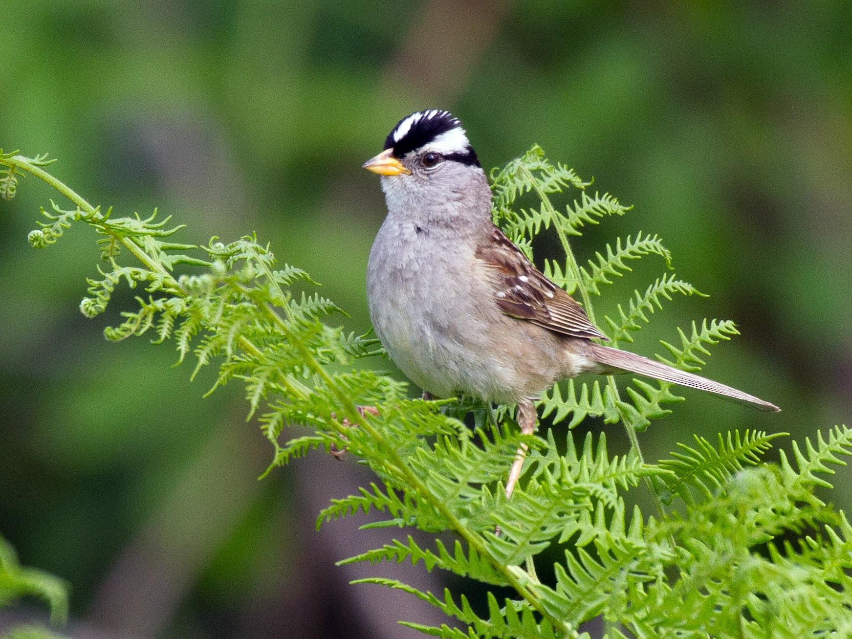 White-crowned Sparrow - Griffin Richards